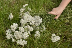 Yarrow. Children hand holding a bouquet of wild flowers, composed of yarrow stock photos