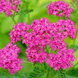 Yarrow cor-de-rosa Fotos de Stock Royalty Free