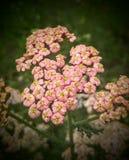 Yarrow cor-de-rosa Foto de Stock Royalty Free