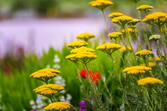Yarrow för guld- platta i en grön äng Gula Sommer Flowers mot bakgrund field bl?a oklarheter f?r gr?n vitt wispy natursky f?r gr? arkivbild