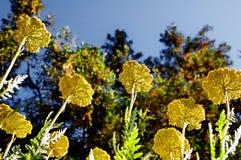 Yarrow Fernleaf filipendulina Achillea λουλουδιών Στοκ Φωτογραφία