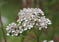 Yarrow flower Stock Image