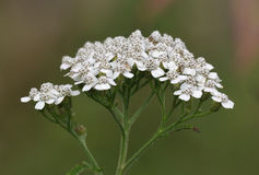 Yarrow flower Royalty Free Stock Photography