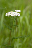 Yarrow flower Stock Images