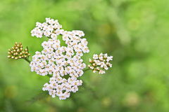 Yarrow flower Royalty Free Stock Images