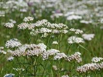 Yarrow garden Stock Photography