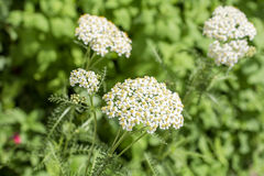 Yarrow in green field Stock Image