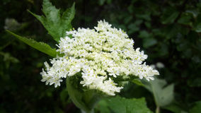 Yarrow Heaven Fotografia de Stock