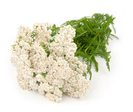 Yarrow herb. Isolated on white background Stock Photos