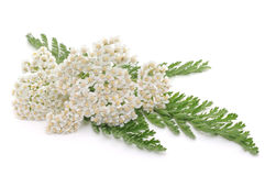 Yarrow herb Stock Image