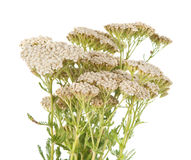 Yarrow herb isolated Stock Photography