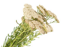 Yarrow herb isolated Royalty Free Stock Photos