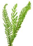 Yarrow leaf isolated. stock photography