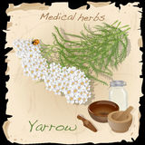 Yarrow. Medical Herb. Royalty Free Stock Image