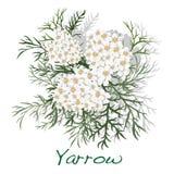 Yarrow. Medical Herb. Vector. Stock Photos