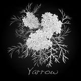 Yarrow. Medical Herb. Vector. Royalty Free Stock Images