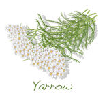Yarrow. Medical Herb. Vector. Royalty Free Stock Photography