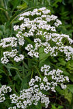 Yarrow-1 Royalty Free Stock Photography