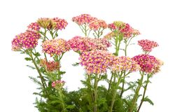 Yarrow Royalty Free Stock Photo