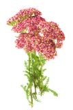 Yarrow Stock Photo