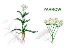 Yarrow, milfoil. herbal medicines. Stock Image