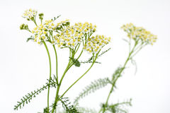 Yarrow in near center position Stock Photography