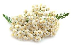 Yarrow plant Royalty Free Stock Photo