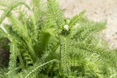 Yarrow Plant stock foto's
