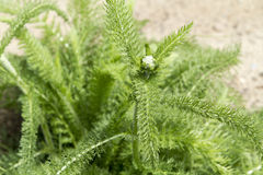 Yarrow Plant Arkivfoton
