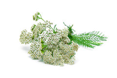 Yarrow plant closeup on a white background Stock Photo