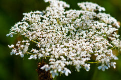 Yarrow plant flower head Stock Photo