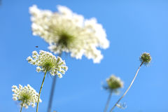 Yarrow plants against blue sky Stock Image