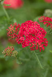 Yarrow Stock Images