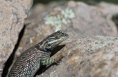 Yarrow's Spiny Lizard Close-Up Stock Photography