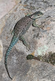 Yarrow's Spiny Lizard Royalty Free Stock Photography