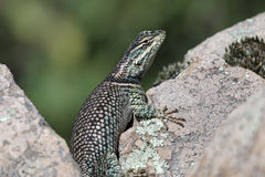 Yarrow's Spiny Lizard Up-Close Stock Images