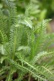Yarrow sidor för Achillea millefoliumgräsplan fotografering för bildbyråer