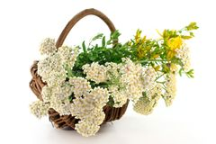 Yarrow and St. John's Wort. Fresh yarrow and St. John's Wort in a basket Royalty Free Stock Images