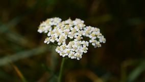 Yarrow with a tiny insect on it. Achillea millefolium, commonly known as yarrow, milfoil or common yarrow, is a flowering plant in the family Asteraceae widely stock footage