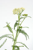 Yarrow in vertical composition Stock Photos