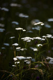 Yarrow. Very beautiful flower in the meadow some weeds among them- Yarrow Royalty Free Stock Photo