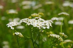 Yarrow Royalty Free Stock Image