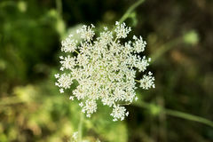 Yarrow wild flower organic background Stock Image