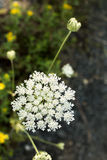 Yarrow wild flower organic background Royalty Free Stock Image