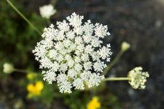 Yarrow wild flower organic background Stock Images