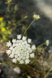 Yarrow wild flower organic background Stock Photos
