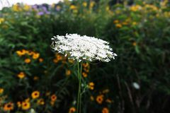Wild Carrot Close-up alone on the Background Green Grass royalty free stock image