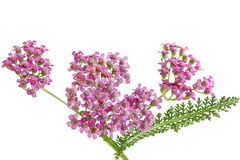Yarrow Wildflower Stock Photo