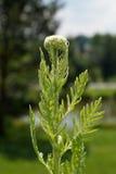 Yarrow, yarrow de Fernleaf (filipendulina de Achillea) Fotografia de Stock