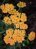 Yarrow yellow (Achillea) Stock Photo